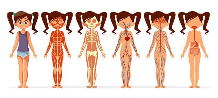 El cuerpo humano por dentro y sus partes