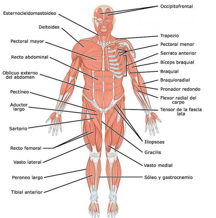 Imagen sistema muscular parte anterior