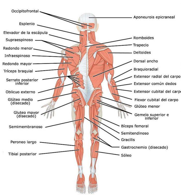 Imagen sistema muscular anterior